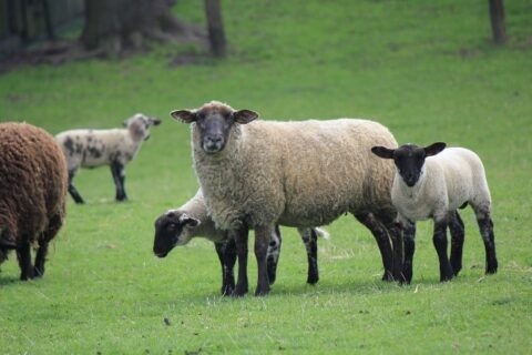 Image of Sheep in a field